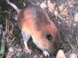Construction A Threat To Mazama Pocket Gopher