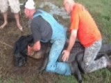 Cowboys Rope 10-foot Gator Threatening Their Livestock