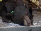 Dry Conditions Drive Bears Into Colorado Neighborhoods