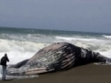 Dead Humpback Whale Found On Beach Outside San Francisco