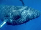 Documentary Gets Up Close And Personal With Humpback Whales