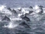 Deadly Orca Ambush Triggers Dolphin 'stampede'