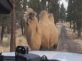 Deputies Discover Camel Wandering Around Oregon City