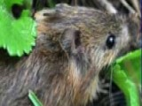 Endangered Mouse Threatens Ranching Family