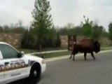 Escaped 2,000-pound Buffalo Leads Cops On Wild Chase