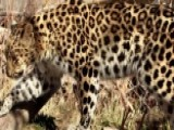 Escaped Leopard Causes Lockdown At Utah Zoo