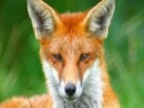 Fox Attacks Four In Connecticut Town