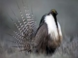 Feds May Classify Sage Grouse As Endangered Species