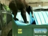 Florida's Black Bear Population On The Rise