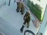 Fearless French Bulldog Chases Bears Away From Home