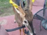 Family Wraps Yellow Tape Around Pet Deer To Stave Off Hunters