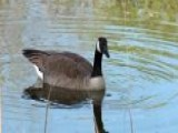 Geese Go On The Attack In Missouri