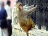 Grapevine: Monkey Business At India's Government Buildings