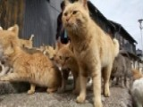 Grapevine: Japanese Island Overrun With Cats