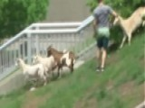 Goats Gone Wild: Animal Escape Triggers 24-hour Round-up