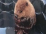 Going Viral: Baby Beaver Steals The Internet's Heart