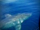 Great White Shark Spotted Off The Coast Of Florida
