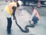 Huge Python Found At Construction Site Tries To Bite Workers