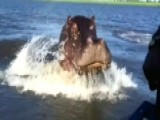 Hungry Hungry Hippo? Raging Beast Chases Speedboat