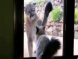 Housecat Unfazed In Stare Down With Mountain Lion