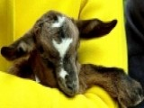 How A Goat Is The Gift That Keeps On Giving
