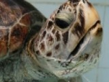 Hundreds Of Coins Removed From Sea Turtle's Belly