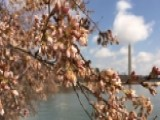 How Cherry Blossoms Became A Washington, DC Tradition