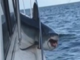 Huge Shark Gets Stuck On Boat As Fishermen Look On In Horror