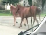 Herd Of Runaway Horses Snarls Traffic On Georgia Highway