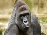 Investigation Into Cincinnati Gorilla Incident Sparks Debate