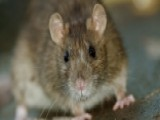 It's A Rat's World: How Rodents Conquered The Globe