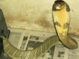 King Cobra Escapes From Florida Home