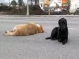 Loyal Labrador Keeps Watch Over Another Dog Struck By Car