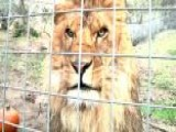 Lion Kills Pe 00004000 Rson At Wild Cat Preserve