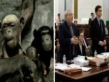Lawyers Fight For Two Chimps Kept At University To Be Freed