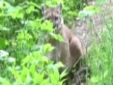 Lone Hiker's Scary Standoff With Mountain Lion