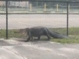 Large Gator Spotted Prowling Outside Florida Middle School