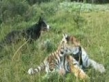 Man's Best Friend Herding Tigers