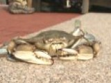 Move Over Punxsutawney Phil? Crab Predicts Weather
