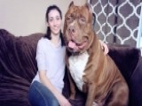 Meet 175-pound Pitbull, Hulk