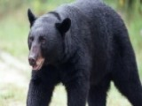 Man Vs Bear: Florida Hosts First Hunt In Over 20 Years