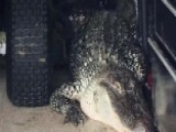 Massive 300 Pound Gator Found In Texas Man's Garage