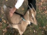 Man Fights To Keep His Therapy Goat