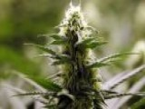 New Colorado Pot Law At Odds With Federal Government?