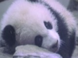 New Baby Panda Makes Public Debut