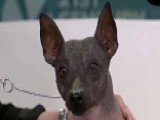 New Dog Breeds Join American Kennel Club's Roster