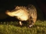 Noisy Gator Crawling Around New Tampa Neighborhood Trapped