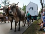 Oxen Help Move Historic Schoolhouse To Its Original Site