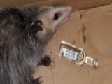 Opossum Breaks Into Liquor Store, Gets Drunk