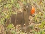 Ohio Man Spots Deer With Head Stuck In Plastic Pumpkin